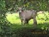 Holsteiner Kuh