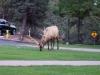 ein Hirsch auf einem Kreisverkehr...völlig normal oder?