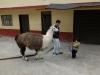 blödes Lama