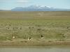 Flüchtende Kraniche und Strauße in der Pampa