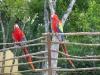 in Copan im Ausrabungsgelände fliegen viele Aras frei herum
