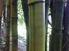 BambusBambus